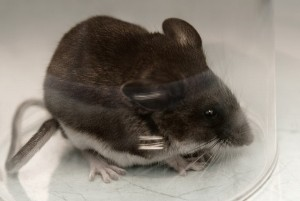 Mice In Attic Guide To Getting Rid Of Mice Tips And Advice