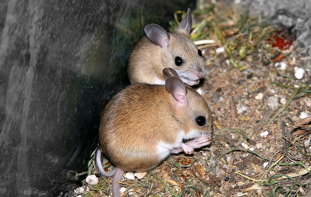 Mice in your Attic or Home Learn How to Get Rid of Them