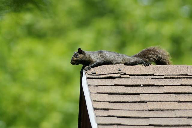 how to catch a squirrel in your attic
