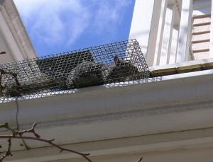 Tips On How To Trap A Squirrel The Attic Pest Authority