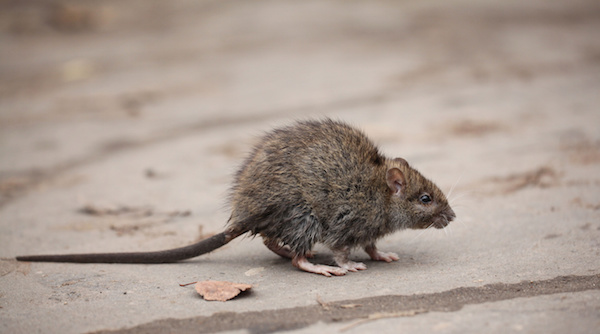 Norway Rats, Also Known As Brown Rats, Are Larger Than Roof Rats, They Have  Fairly Short Tails, And They Love To Burrow. If These Creatures Are Living  In ...