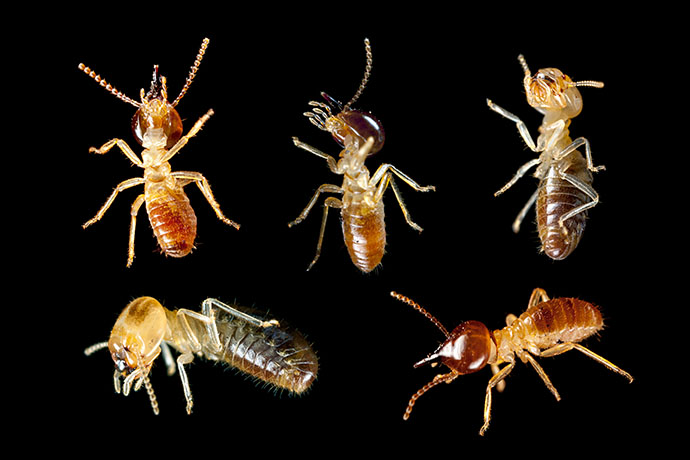 Do Termites Bite Learn Where These Insects Come From