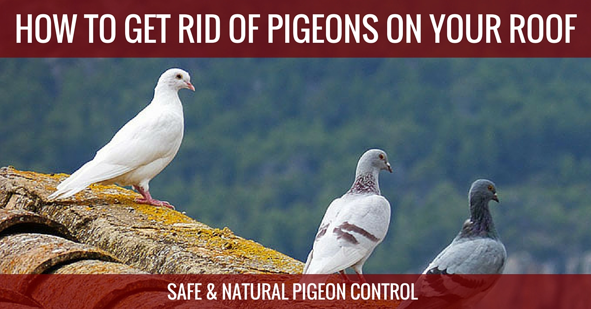 How To Get Rid Of Pigeons Here S The Best Pigeon Repellent