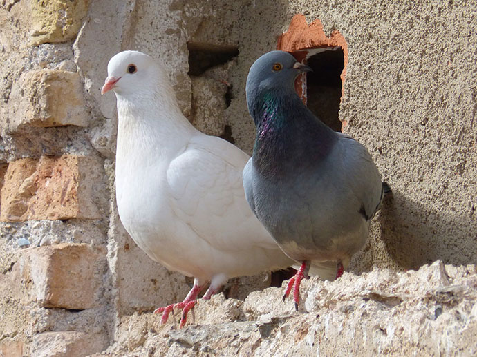 If you suffer from pigeons on your roof, you must first ask why the birds are actually there. They might be there because there is a source of food and ...