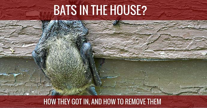 Bats In The House How They Got in, And How To Remove Them