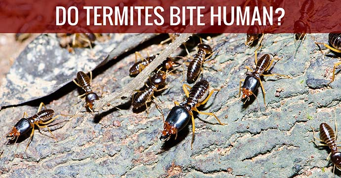 Do Termites Bite Humans