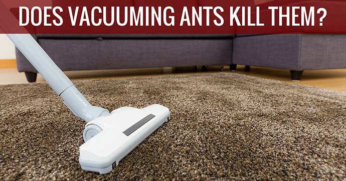 Does Vacuuming Ants Kill Them
