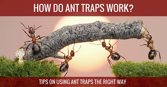 How do Ant Traps Work Tips on Using Ant traps the Right Way