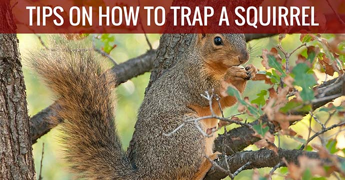 Tips on How to Trap a Squirrel