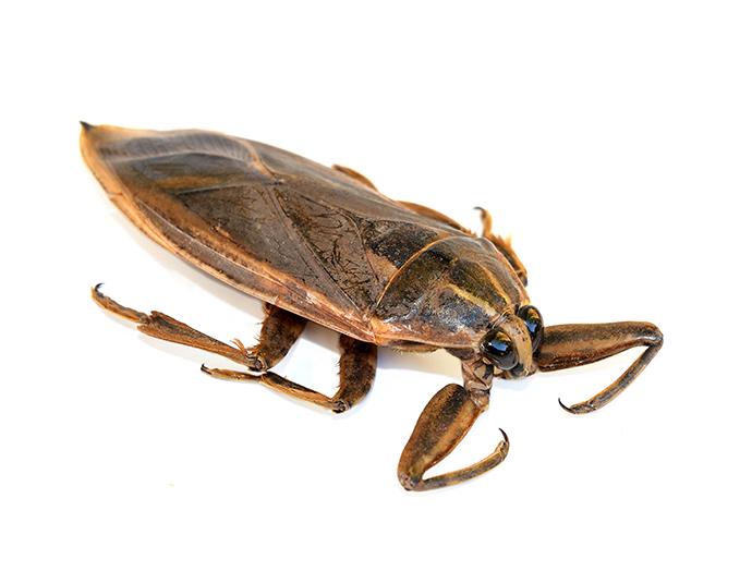 Water bug vs cockroach - photo#20
