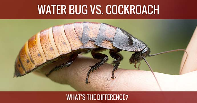 water bug vs cockroach