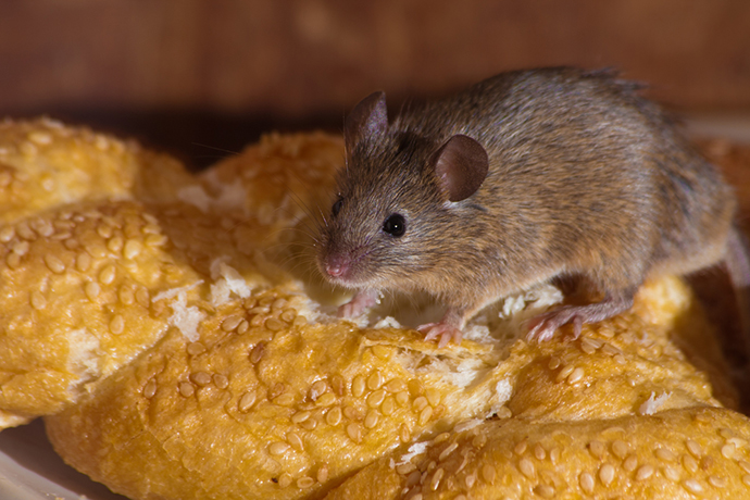 Do Mice Make Noises? - How to Get Rid of The Squeaking!