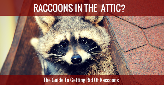 RACCOON IN ATTIC-