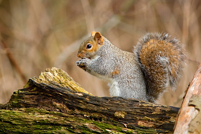 Will Squirrels Eat Rat Poison The Attic Pest Authority