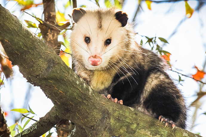 How to Get Rid of Possums - Remove These Pests in your ...