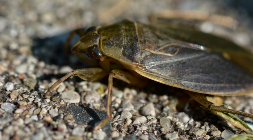 closeup of a water bug