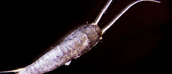 picture of the silverfish insect