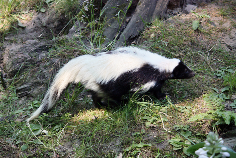 the habitat of the skunk