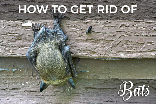 The Ultimate Repellent Guide How To Get Rid Of Bats From Your Attic Or Household