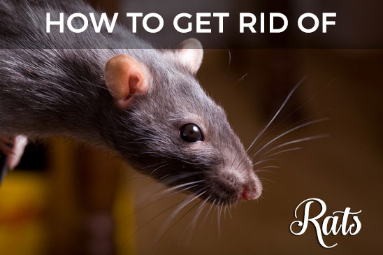 Rats In The Attic Or Household How To Get Rid Of