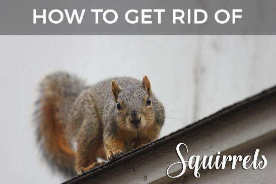 Squirrels In Your Attic Or Home Learn How To Get Rid Of Them