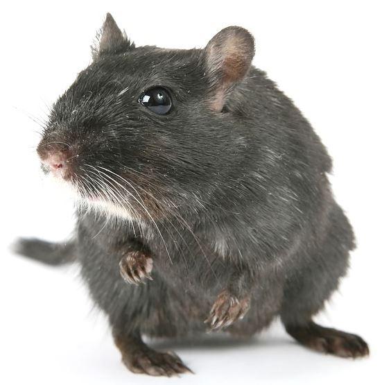 tiny size rodent