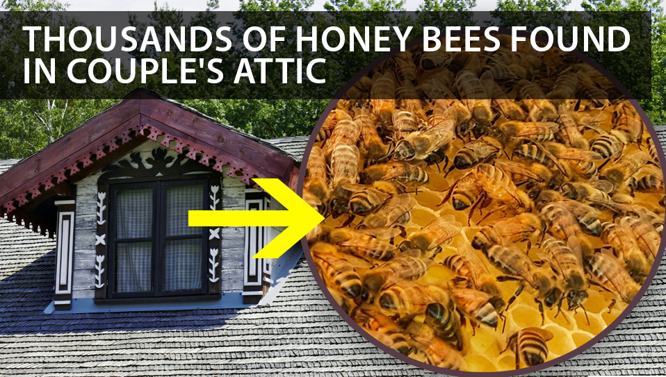 honey bees in the attic